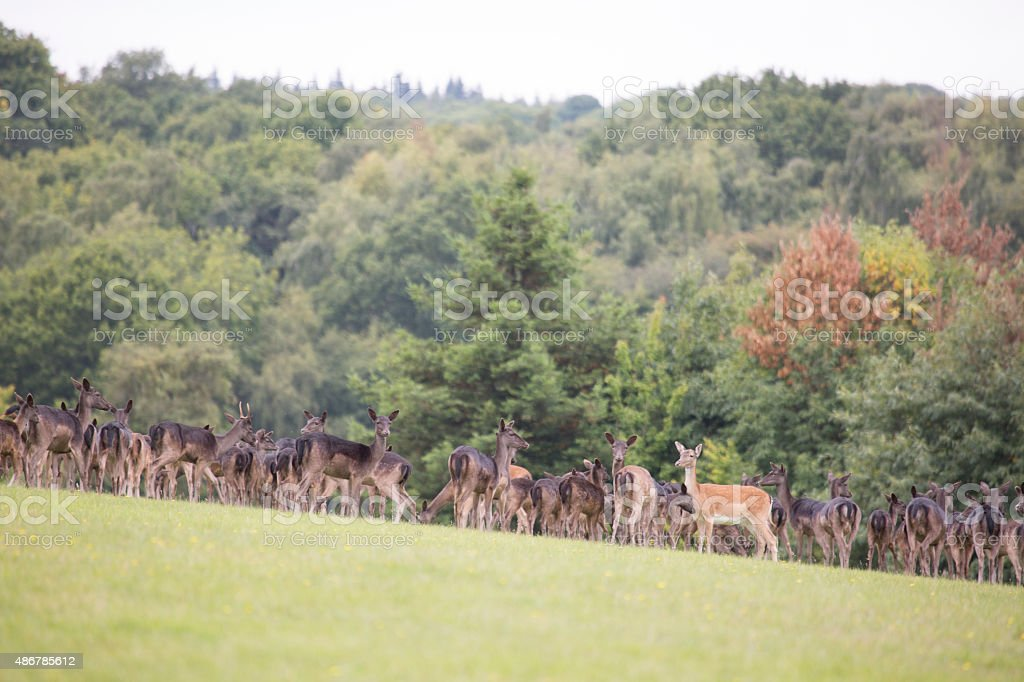 Large group of deer stock photo
