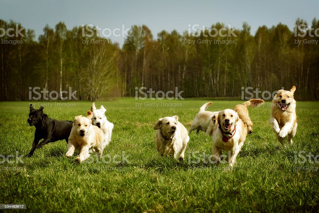large group of dogs Golden retrievers running stock photo