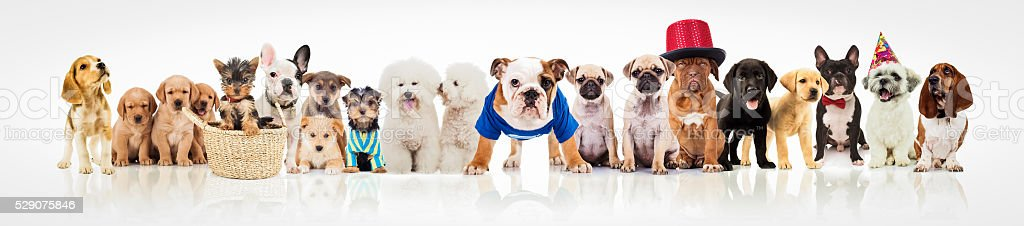 large group of dogs on white background stock photo