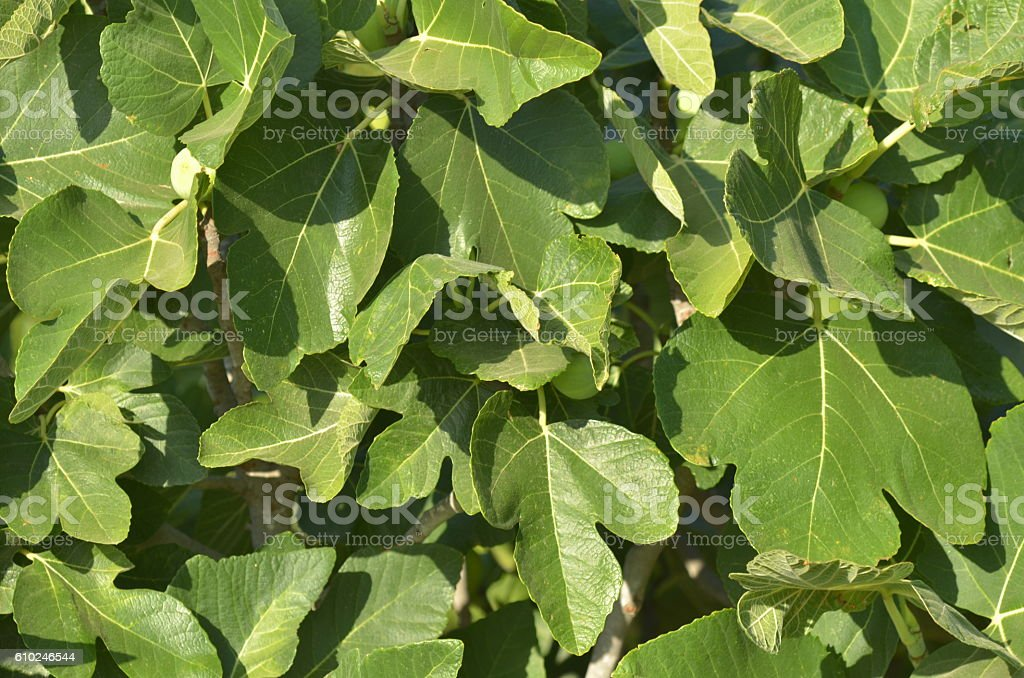 Large group of fig leaves fill frame stock photo