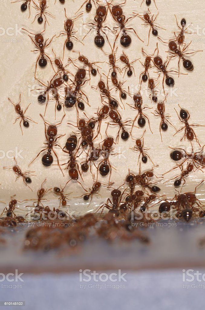Large group of fire ants climbing on wall stock photo