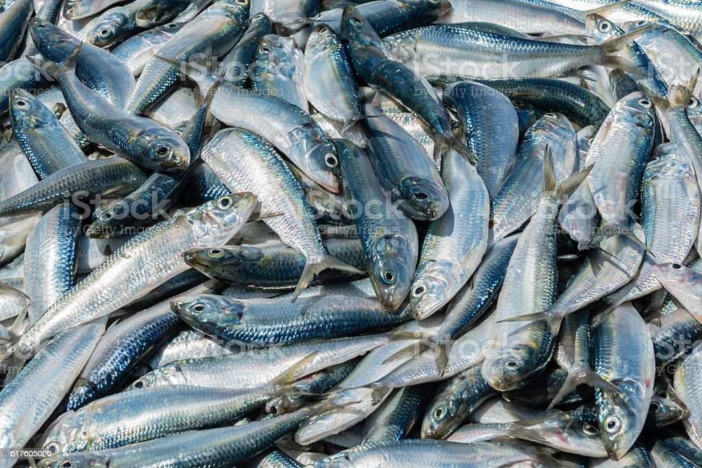 Large group of fresh sardines in fish market. Food backgrounds stock photo