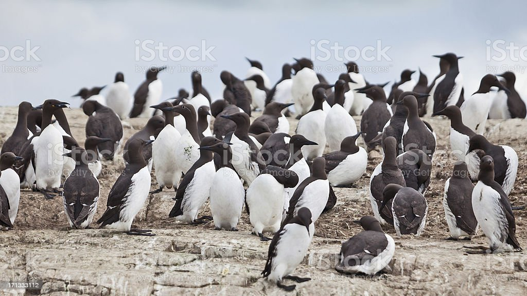 Large group of Guillemots/Murres (Uria aalge) on clifftop stock photo