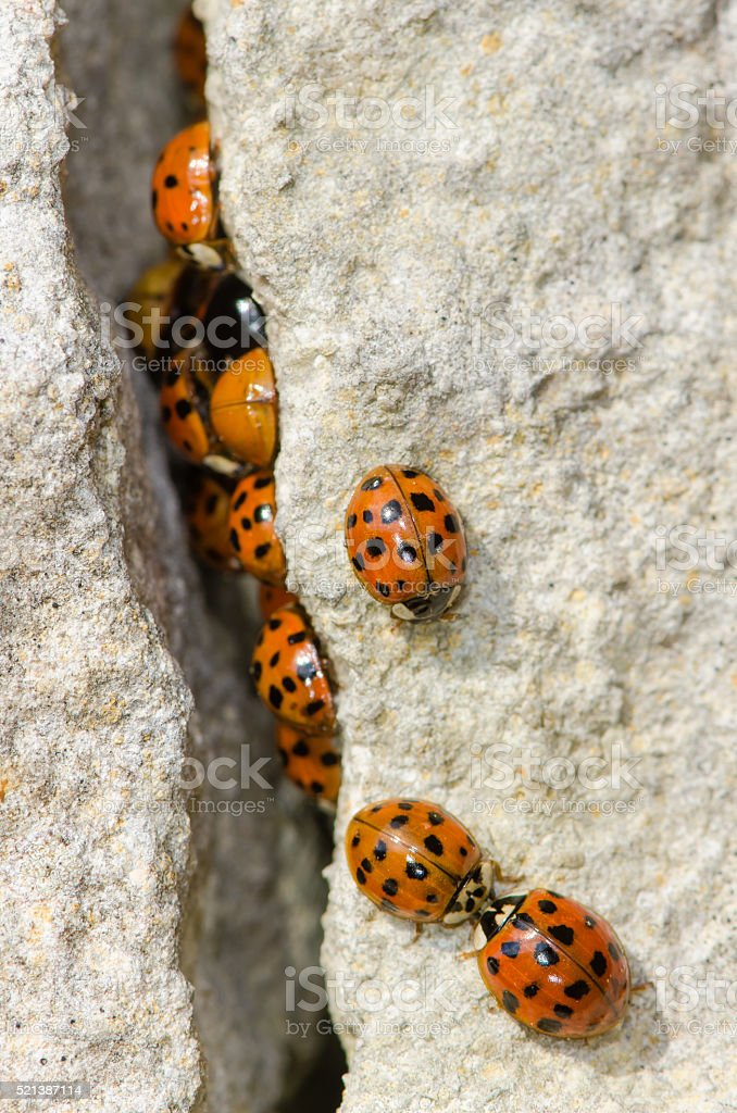 Large group of Harlequin ladybird (Harmonia axyridis) stock photo