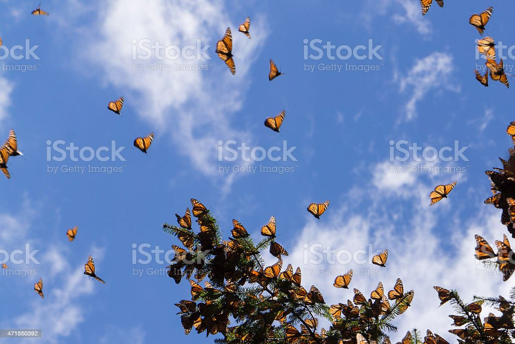 Large group of monarch butterflies flying in bright sky  stock photo