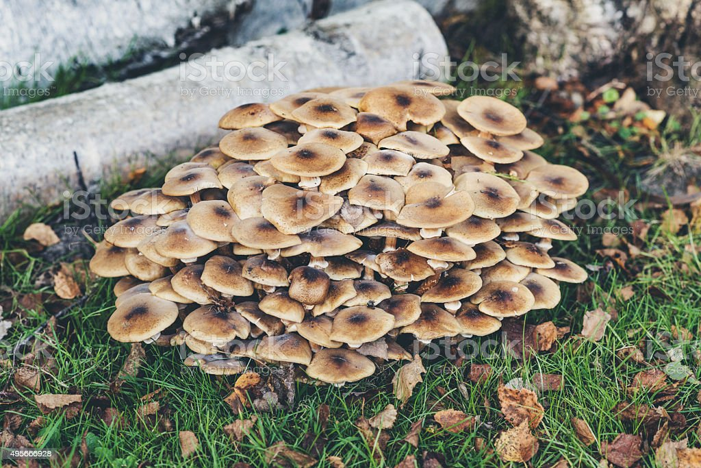 Large group of mushrooms on tree trunk. stock photo