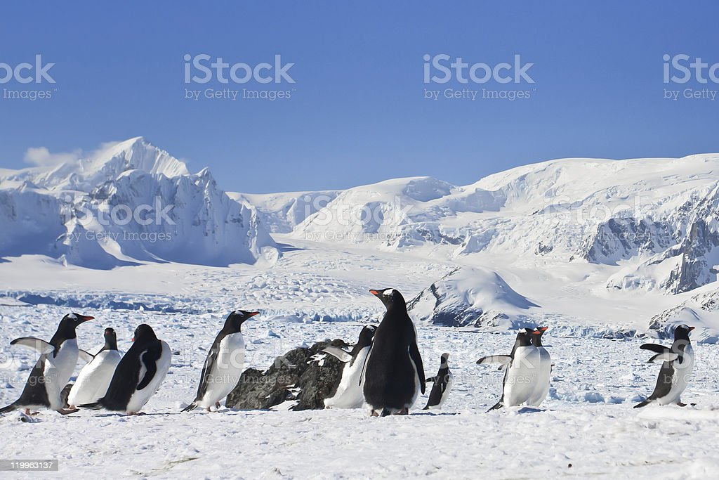large group of penguins royalty-free stock photo