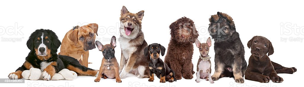Grand groupe de chiots - Photo