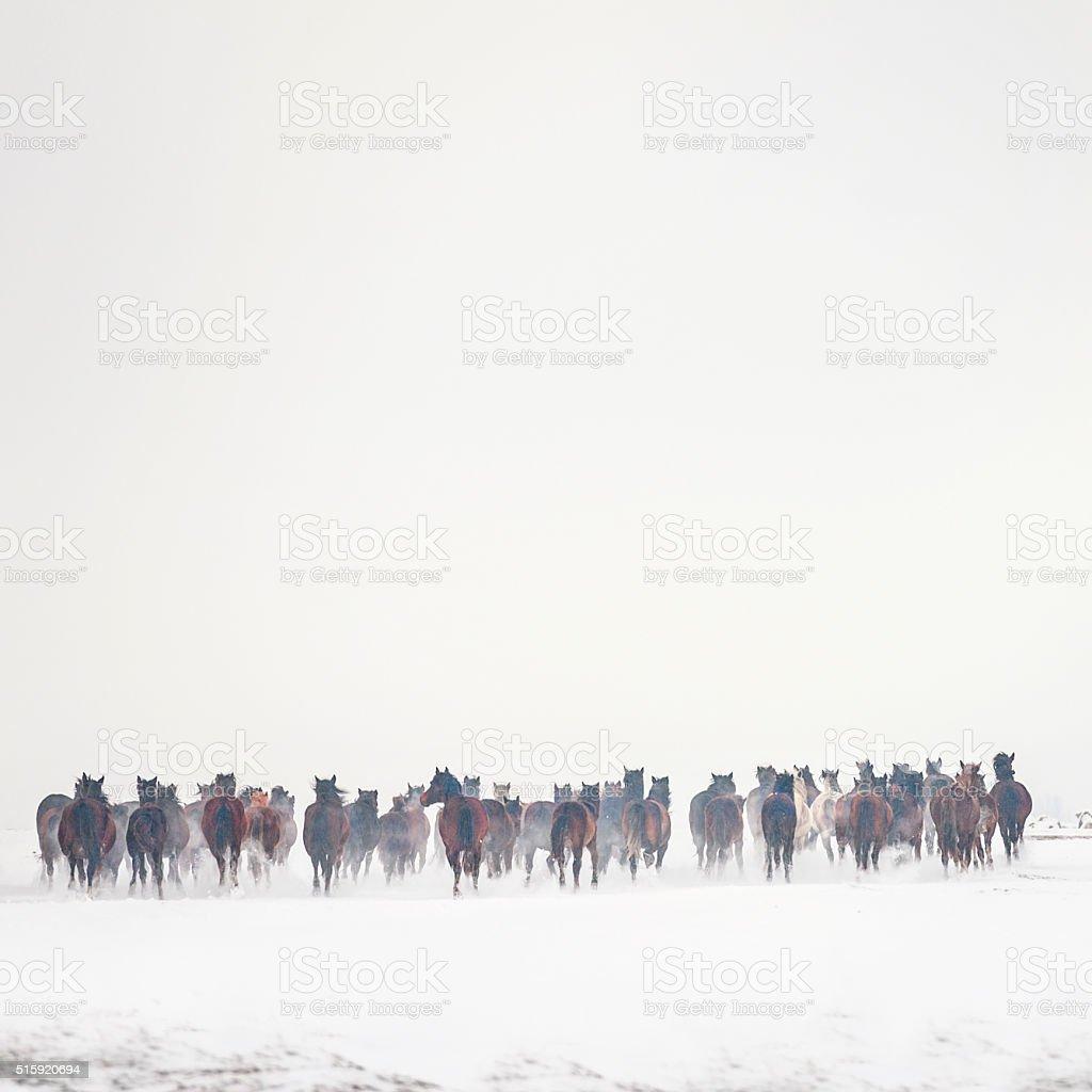 Large group of wild horses stock photo