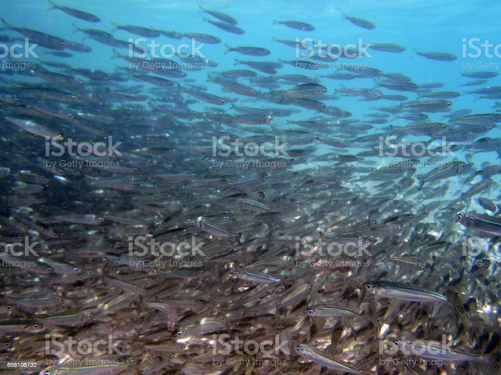 Large group of young fish swimming together stock photo