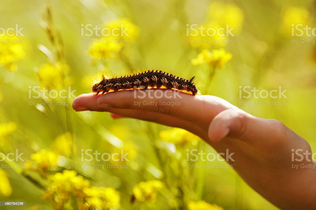 Large hairy caterpillar crawling on arm stock photo