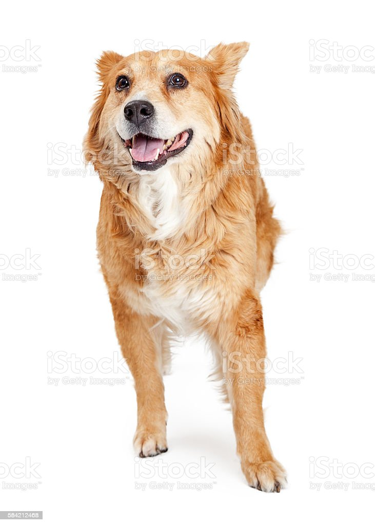 Large Happy Friendly Crossbreed Dog stock photo