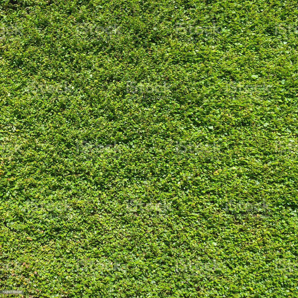 Large hedge wall background stock photo