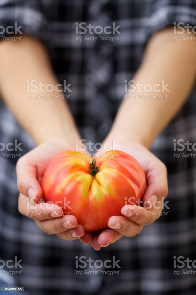 Large heirloom tomato in young woman's hands stock photo