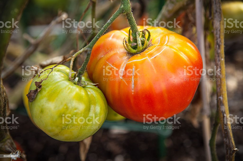 Large Heirloom Tomatoes Ripening On The Vine royalty-free stock photo