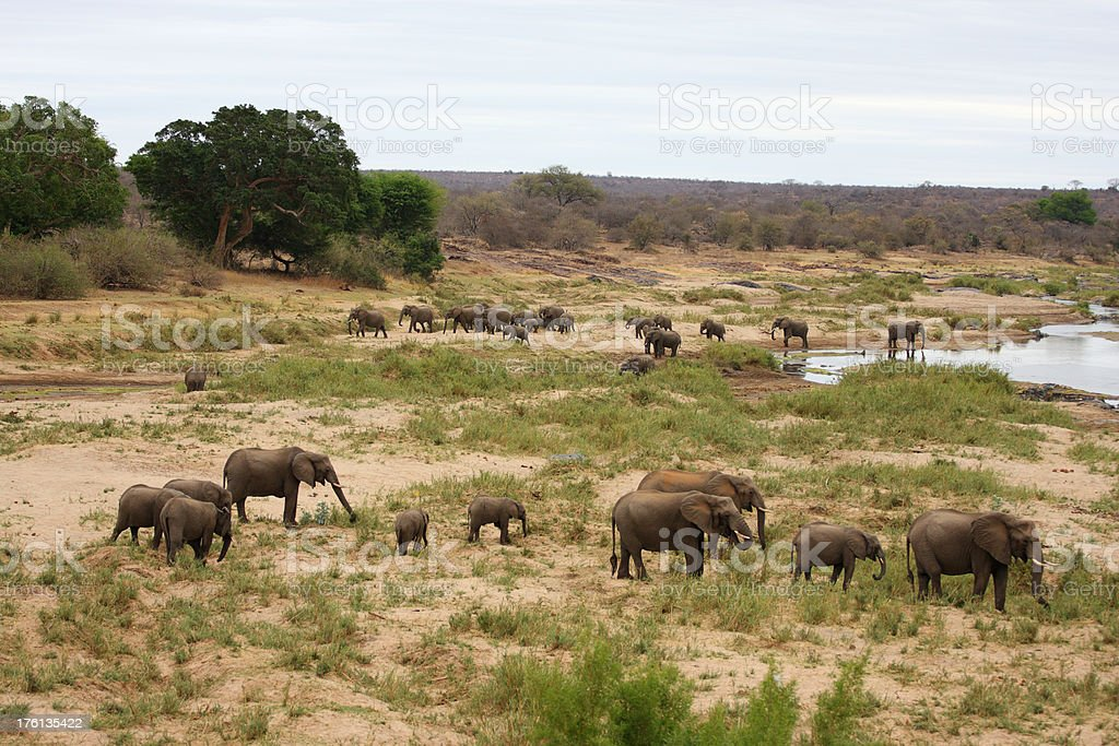 Large herd of elephants moving around in a river bed royalty-free stock photo