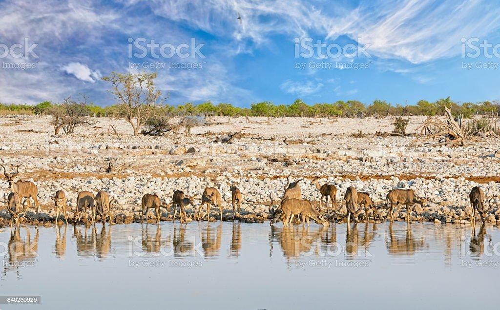 Large herd of Greater Kudu drinking from Okaukeujo waterhole in Etosha nATIONAL pARK stock photo