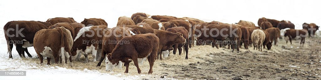 Large herd of hereford cows feeding, partially isolated on white royalty-free stock photo