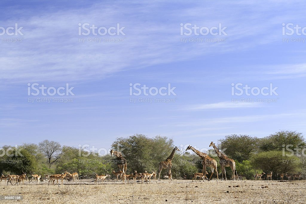large herd of impala and giraffe at a water point. royalty-free stock photo