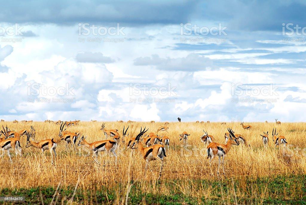 Large herd of Thomson's  gazelle, Serengeti National Park,Tanzania stock photo