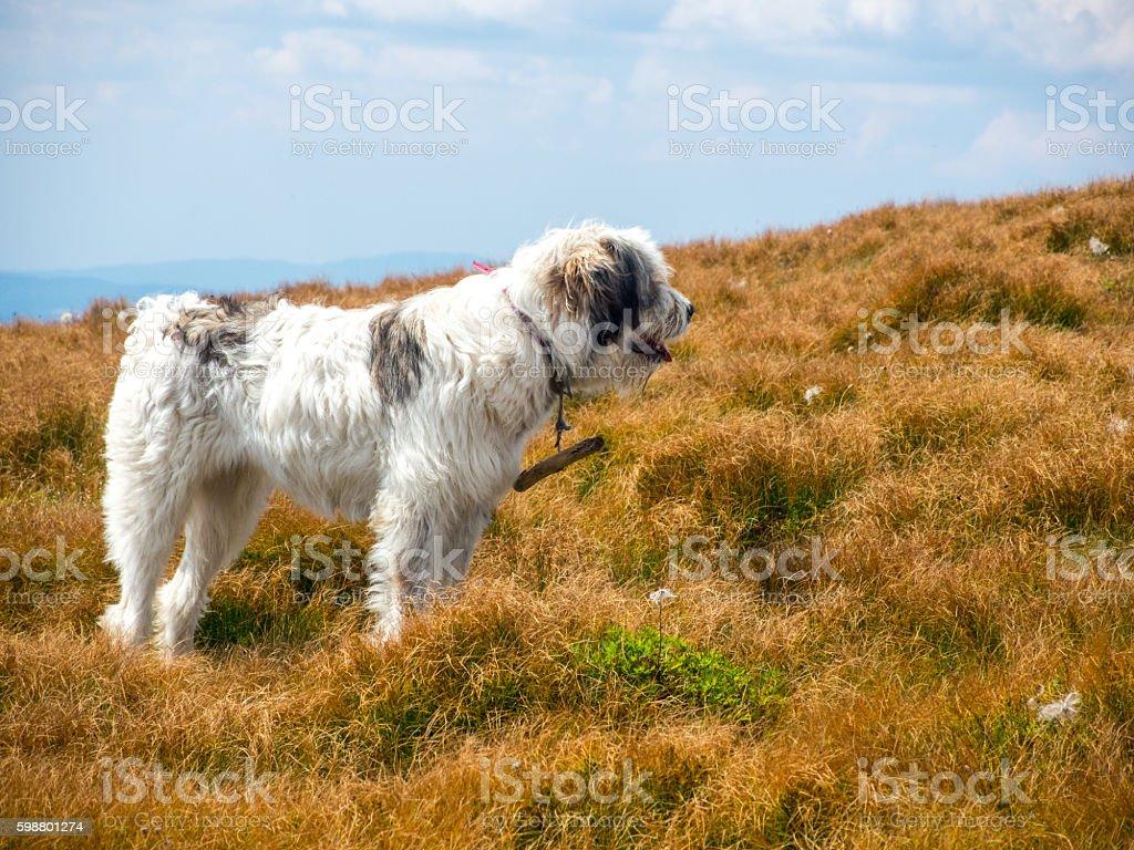 large herding dog looking ahead stock photo