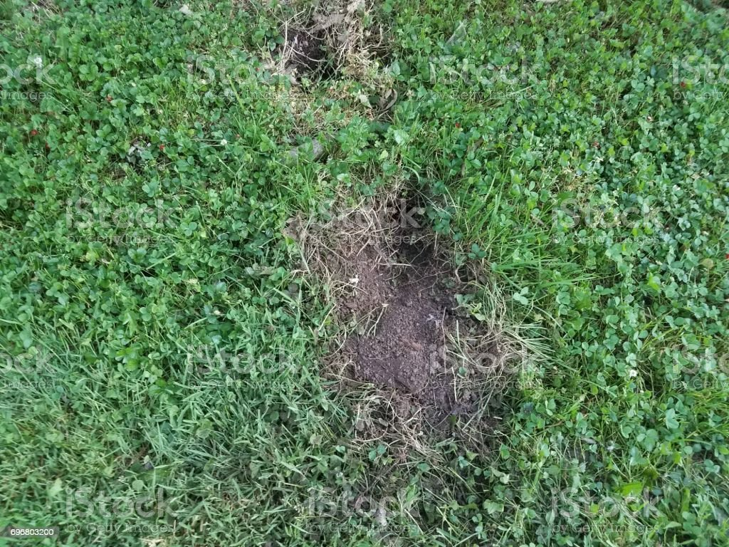 large hole dug in grass by an animal stock photo