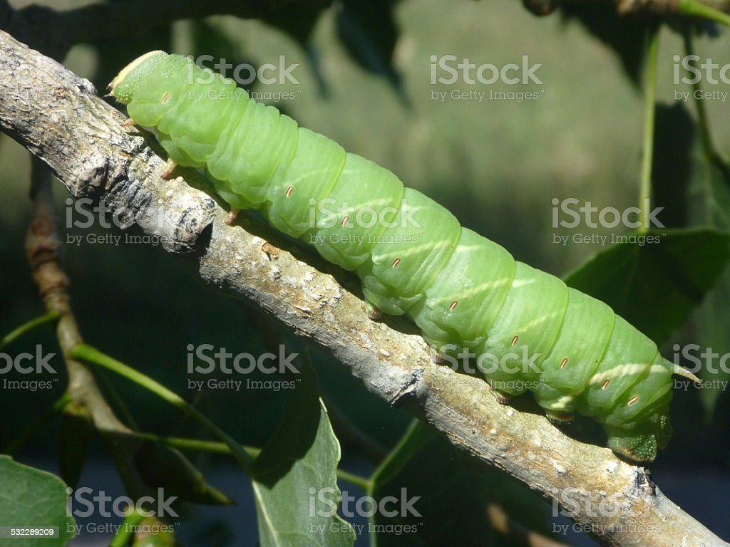 Large horned green sphinx caterpillar Denver Colorado stock photo