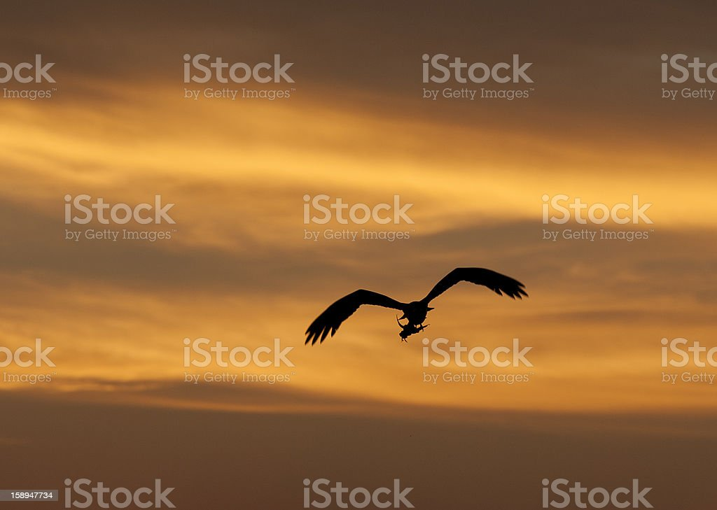 Large hunting osprey bird in flight at sunset royalty-free stock photo