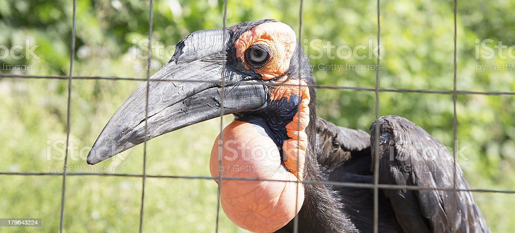 Large images of the Kafrsky horned raven royalty-free stock photo