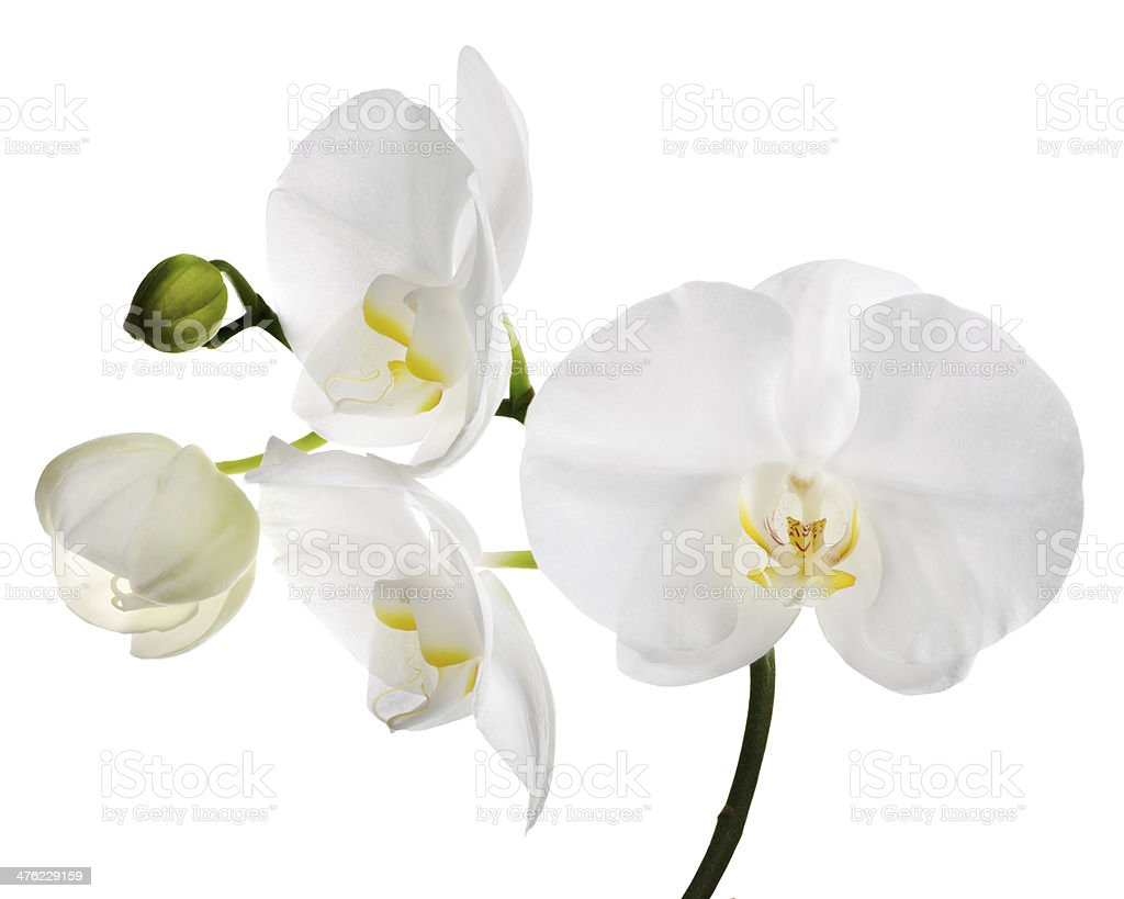 large  isolated white orchid flowers stock photo