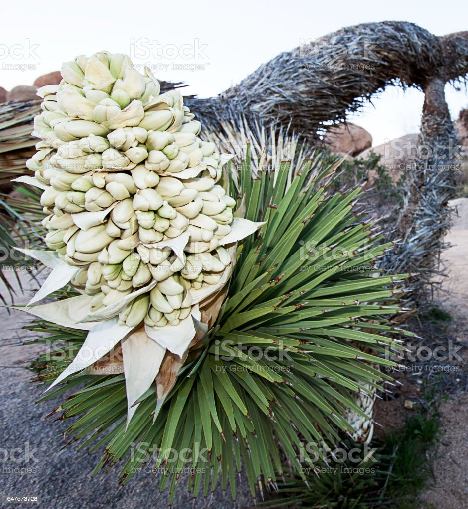 Large Joshua Tree flower stock photo