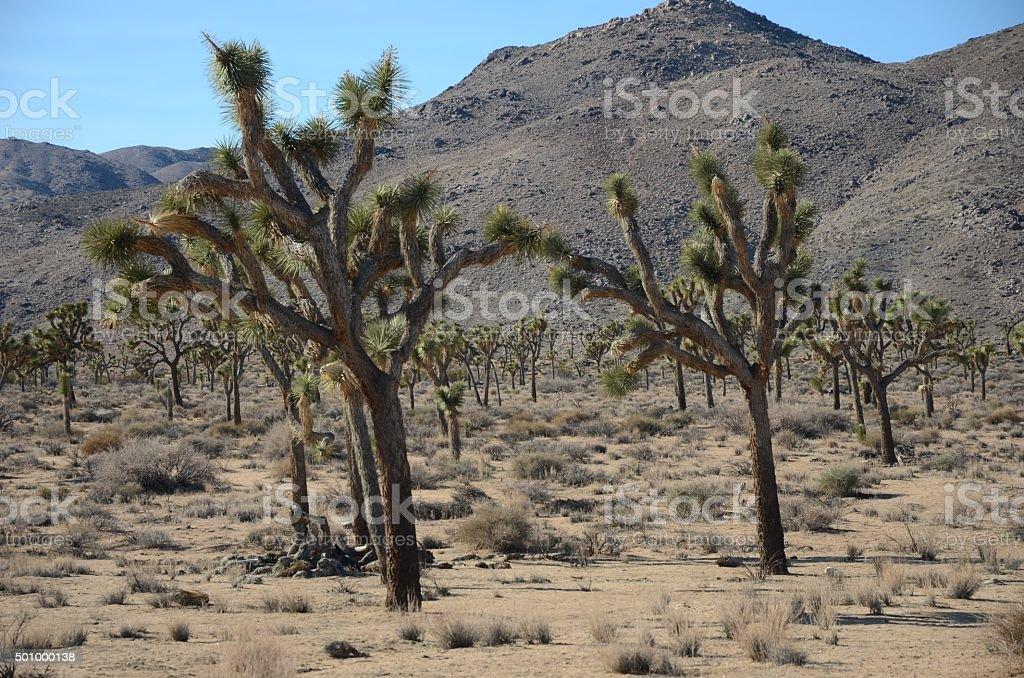 Large Joshua Tree in Joshua Tree National Park, California royalty-free stock photo