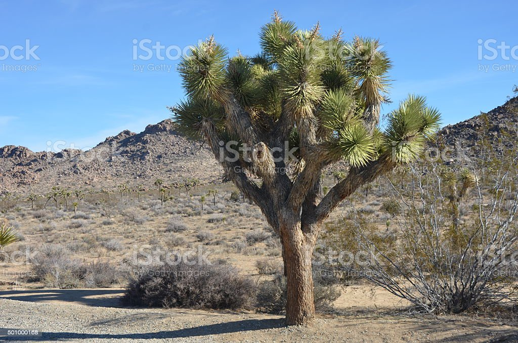 Large Joshua Tree in Joshua Tree National Park, California royalty-free stock photo