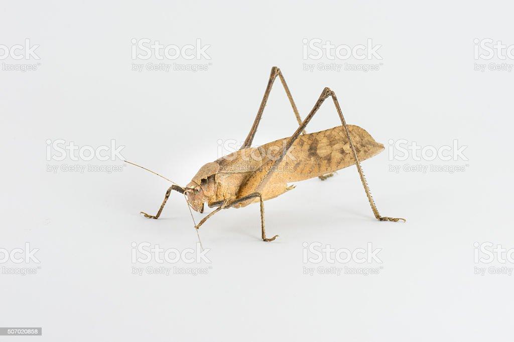 Large Leaf Katydid stock photo