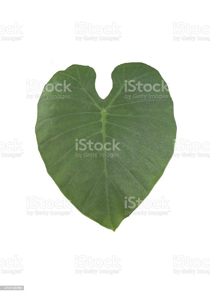 Large leaf stock photo