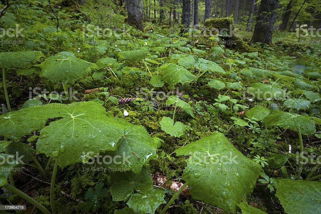 large leaves in a wood royalty-free stock photo