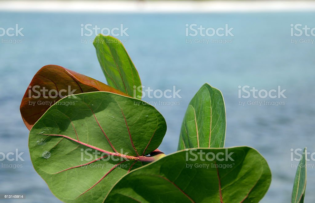 Large leaves of seagrape tree near Church Valley beach stock photo