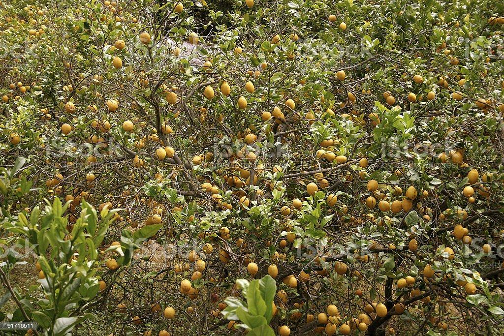 Large lemons at a lemon tree royalty-free stock photo
