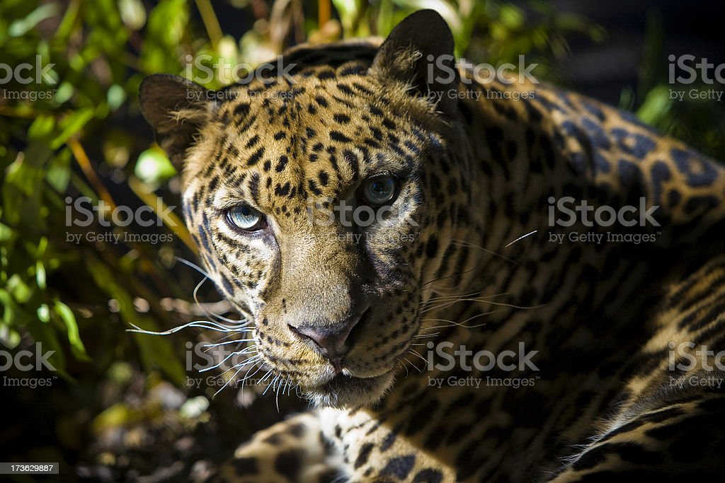 Large Leopard Jaguar Hybrid Close Up royalty-free stock photo