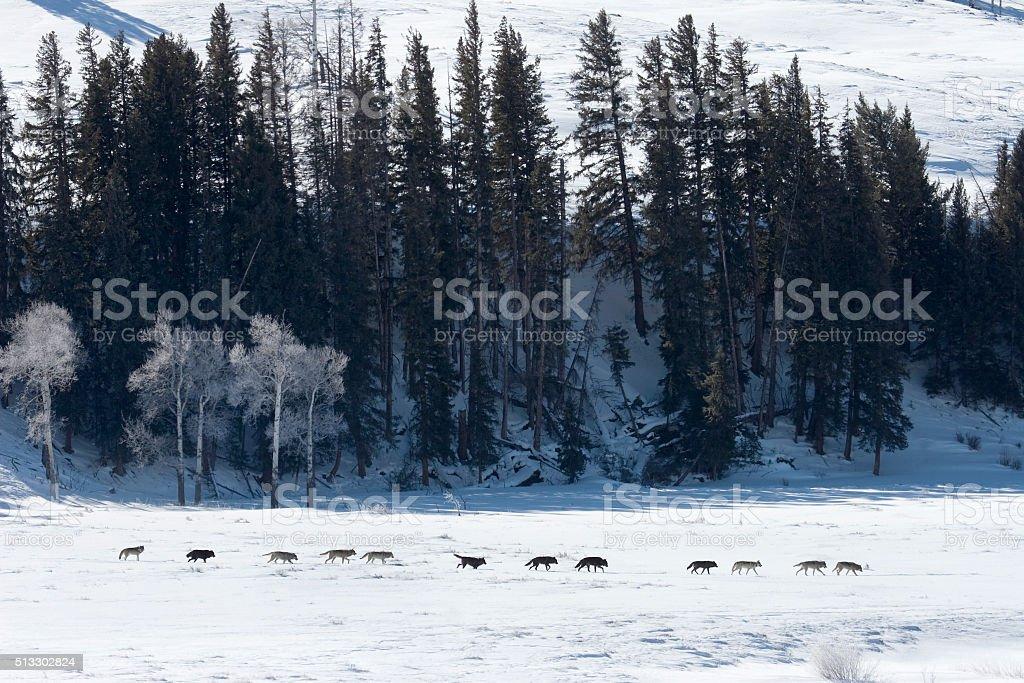 Large line Druid wolf pack Lamar Valley Yellowstone Wyoming stock photo