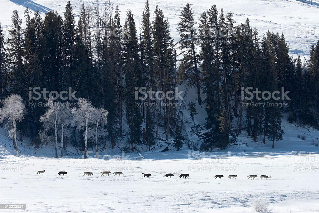 Large line Druid wolf pack Lamar Valley Yellowstone Wyoming stock photo
