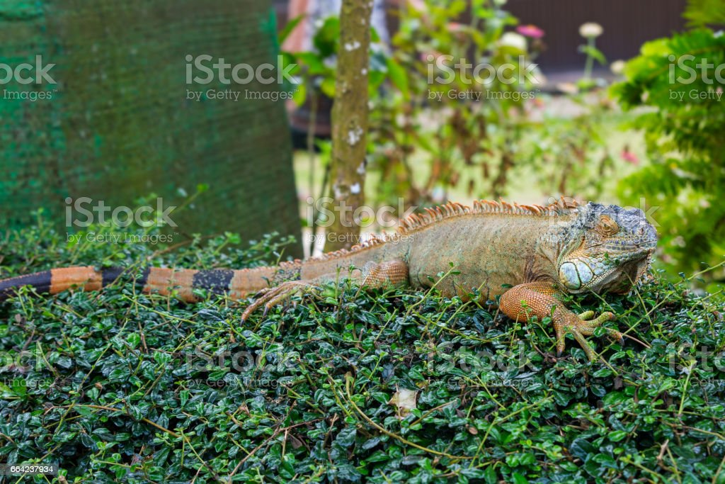 Large lizard of the iguana stock photo
