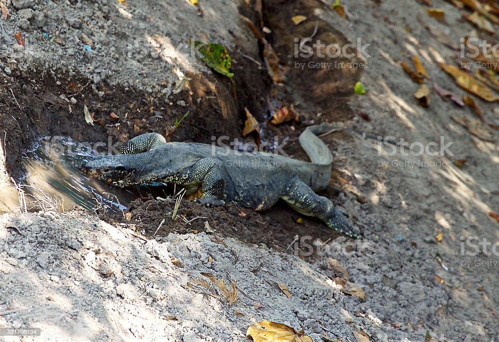 large lizard on the island of Koh Racha stock photo