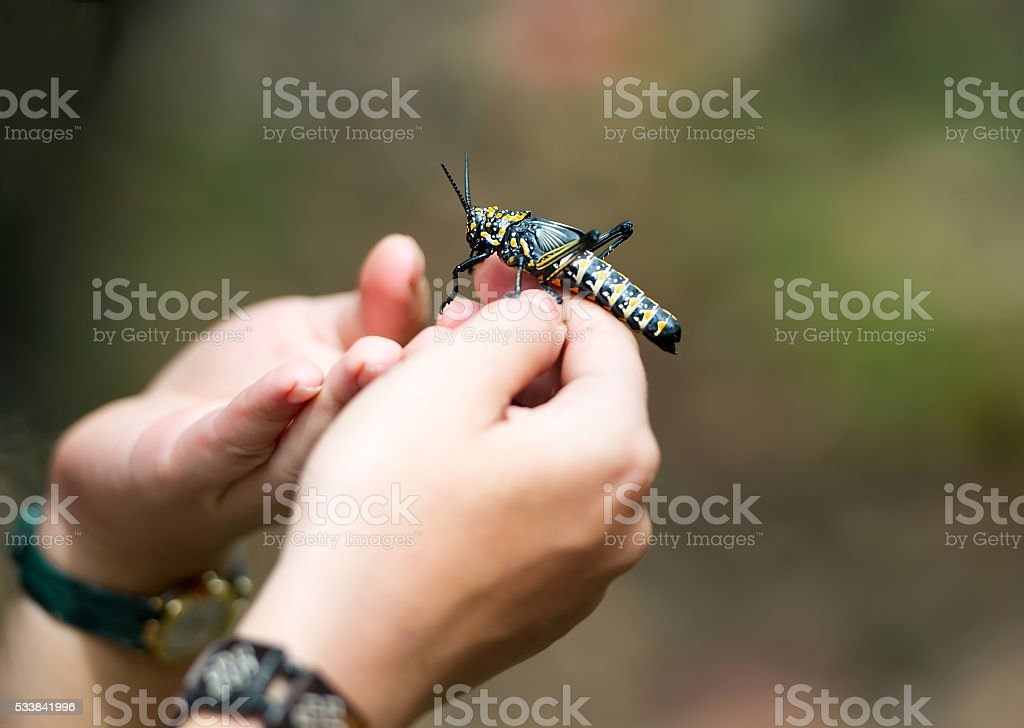 Large locust in hands at the person. stock photo