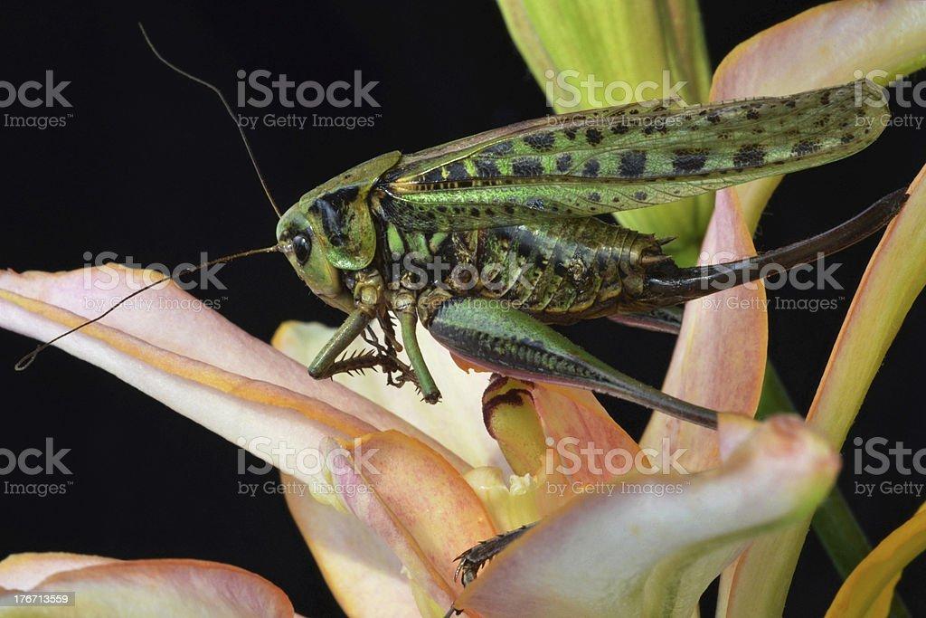 large locusts royalty-free stock photo