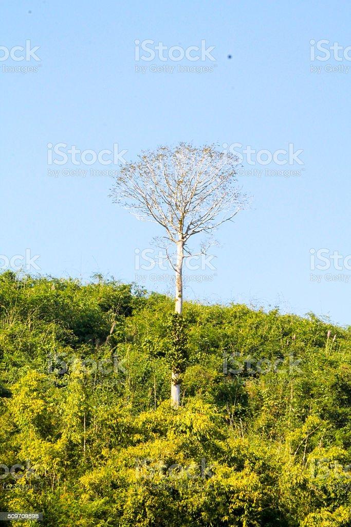 Grand arbre solitaire dans la forêt denses. photo libre de droits