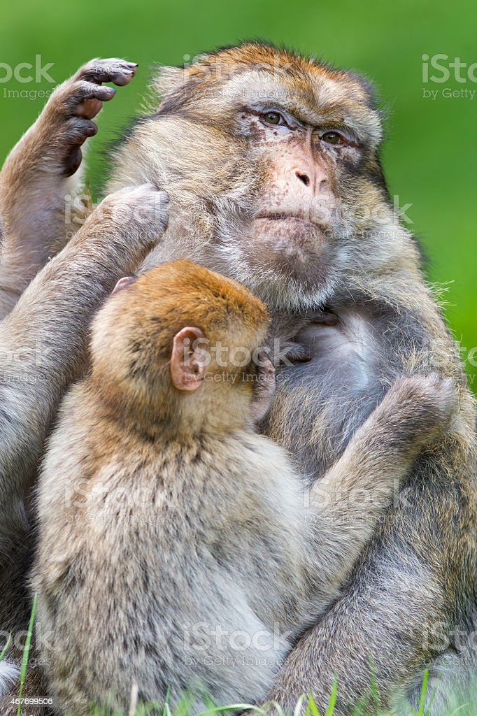 Large male Barbary Macaque (macaca sylvanus) being groomed stock photo