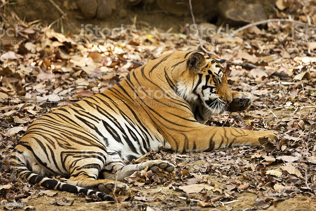 Large male Bengal tiger royalty-free stock photo