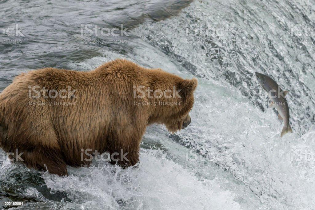 Large Male Brown Bear Watching Salmon in Waterfall stock photo
