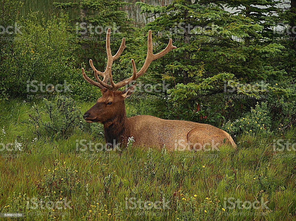 Large Male Elk laying in grassy field stock photo